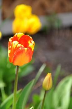 Tulip Plant Tulips #144852