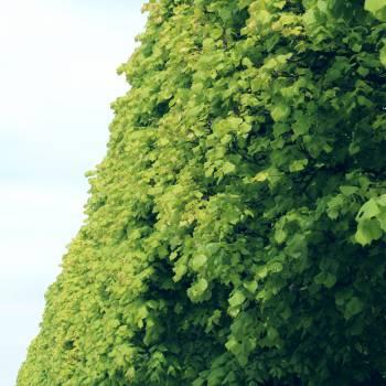 Tree Maple Leaf Free Photo