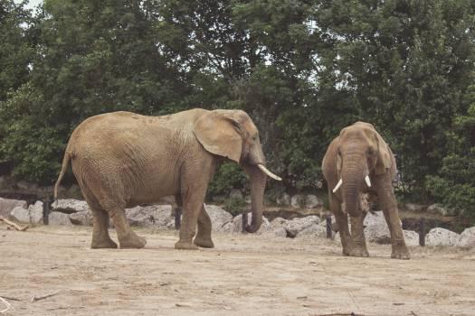 Elephant Mammal African elephant #14503