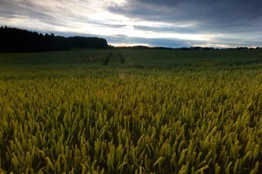 Rice Grain Starches Free Photo