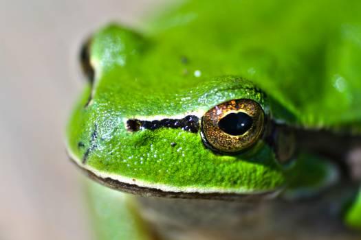 Amphibian Frog Tree frog #14540