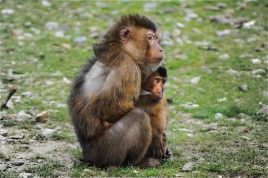 Monkey Primate Macaque #14548