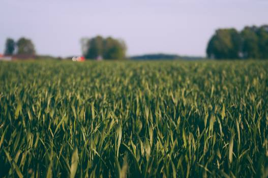 Field Wheat Grain #145757