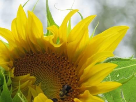 Sunflower Flower Yellow #146248