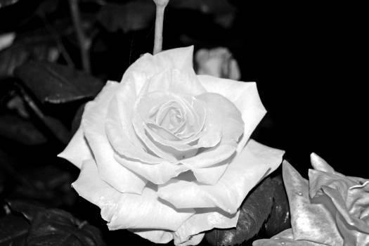 Rose Shrub Plant #146500