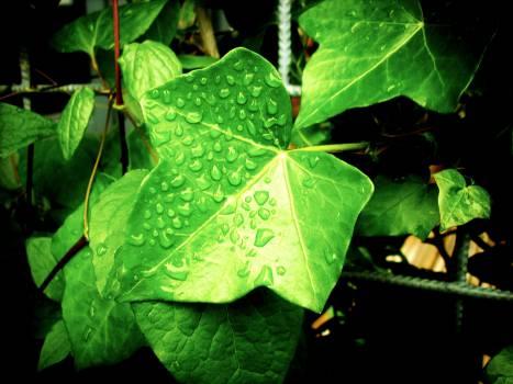Maple Leaf Leaves #14661