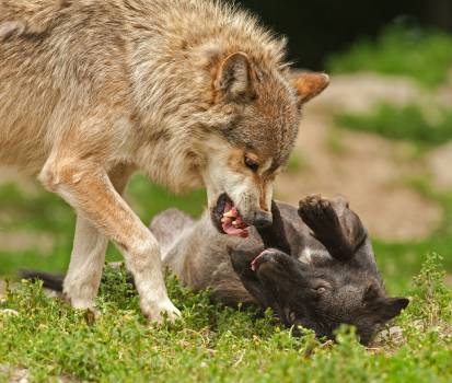 Wolf Canine Animal #14680