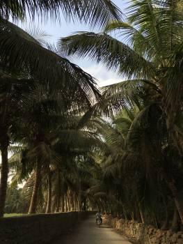 Coconut Palm Tropical Free Photo