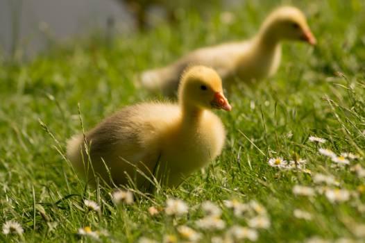 Bird Goose Duck #14698