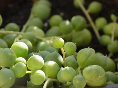 Grape Fruit Edible fruit Free Photo