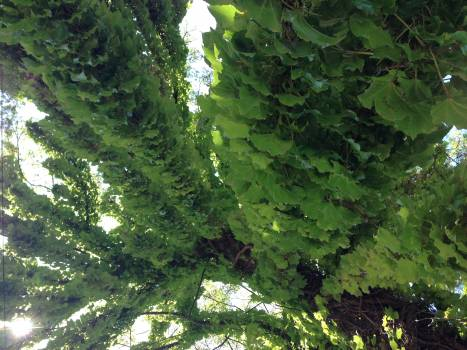 Plant Fern Fir #147320