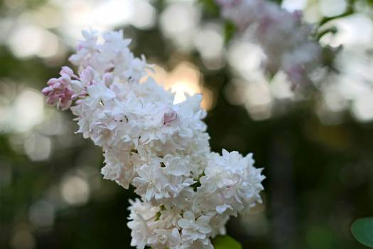 Lilac Flower Floral #14735