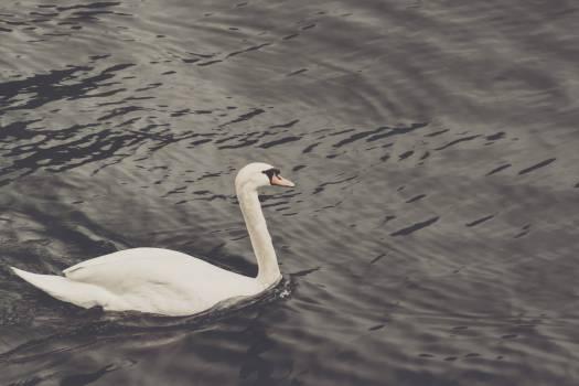 Swan Aquatic bird American egret #14775