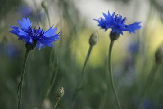 Flower Purple Herb Free Photo