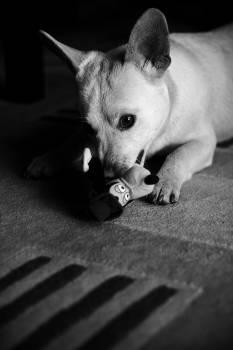 Domestic animal Siamese cat Cat #14810