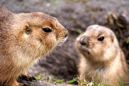 Rodent Marmot Mammal #14824