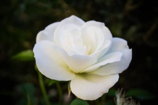 Rose Shrub Flower #148281