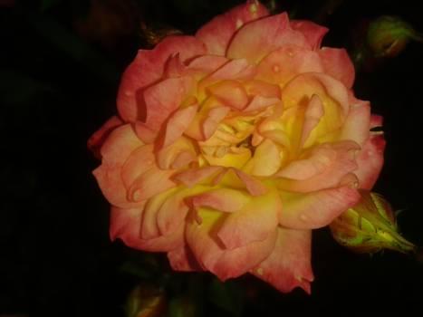 Rose Shrub Flower #148590