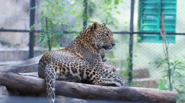 Leopard Fur Feline #149645