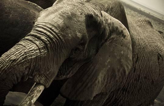 Elephant Mammal Safari Free Photo