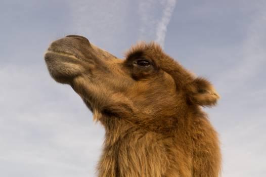 Llama Ungulate Camel #14978