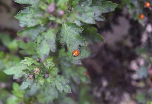 Ladybug Holly Beetle Free Photo