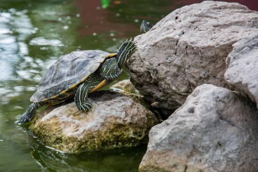 Turtle Terrapin Reptile #15015