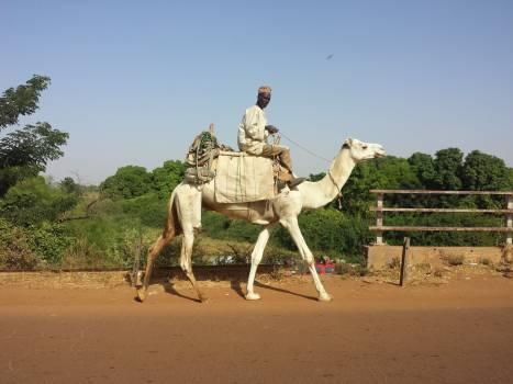 Arabian camel Camel Ungulate #150845