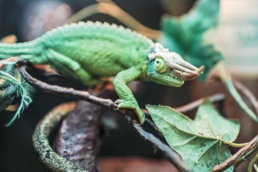African chameleon Chameleon Lizard #15095