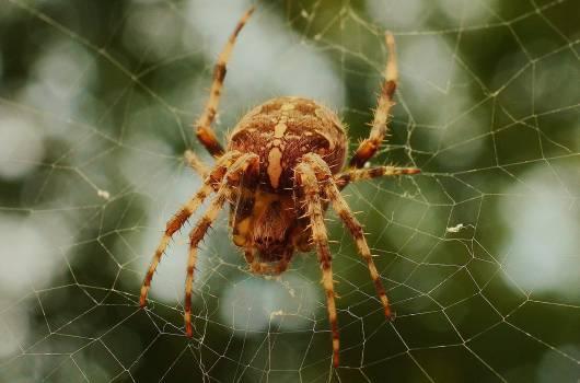 Spider Arachnid Garden spider #15118