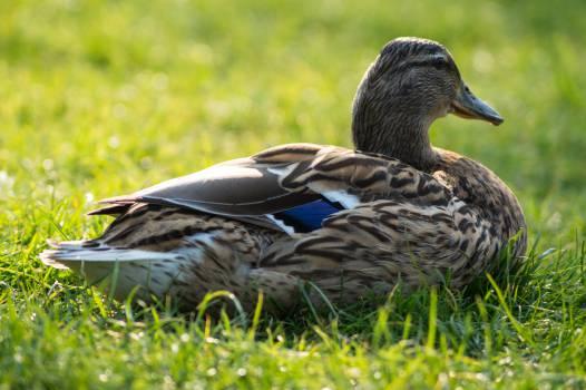 Duck Aquatic bird Bird #15128