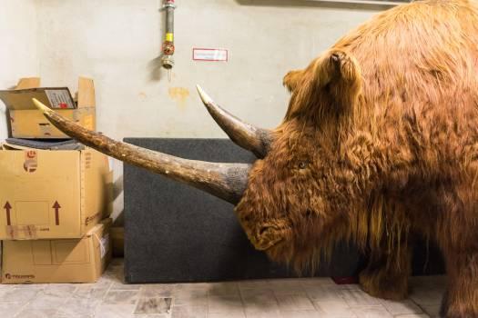 Cattle Bull Ox Free Photo