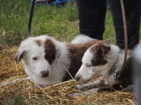 Shepherd dog Border collie Dog #152089