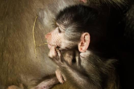 Musteline mammal Black-footed ferret Monkey #15263