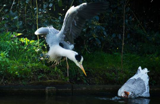 American egret Wading bird Egret #15271