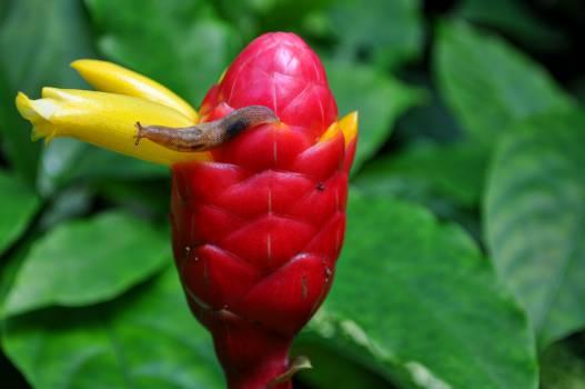 Bud Flower Tulip #15290