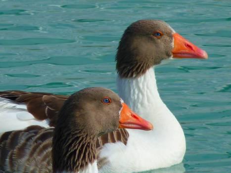 Duck Red-breasted merganser Merganser #15298