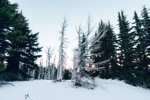 Fir Tree Pine #15345