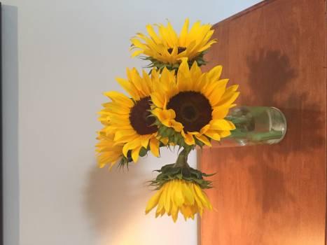 Sunflower Flower Yellow #153535