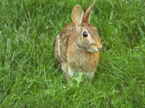 Rabbit Wood rabbit Hare #153634