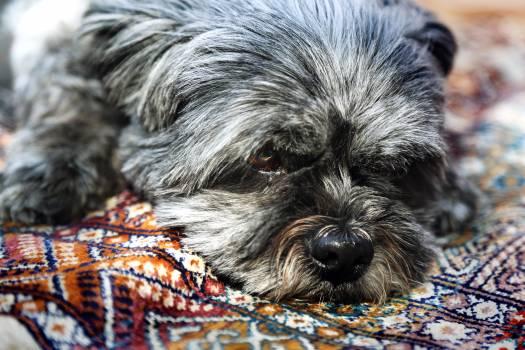 Miniature schnauzer Schnauzer Terrier #153771