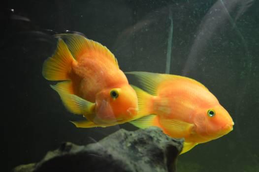 Goldfish Aquarium Underwater Free Photo