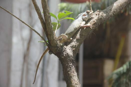 Lizard Tree Chameleon Free Photo