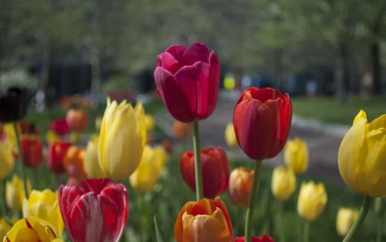 Tulip Plant Tulips #15456