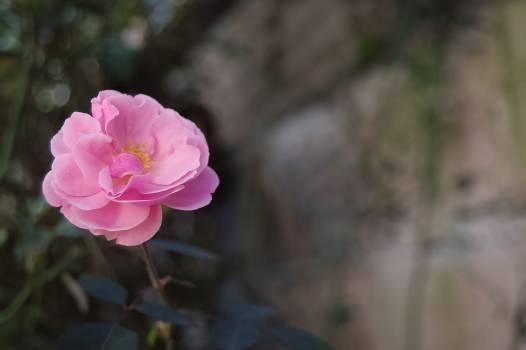 Rose Shrub Pink #154665