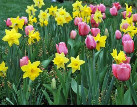 Tulip Tulips Spring #154714