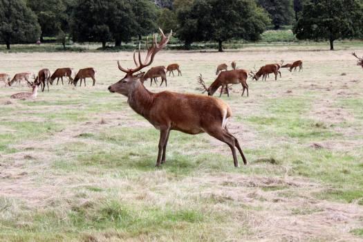 Buck Mammal Placental Free Photo