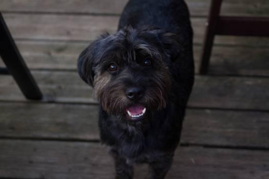 Terrier Schnauzer Hunting dog #155637