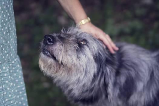 Terrier Dog Cairn #155704