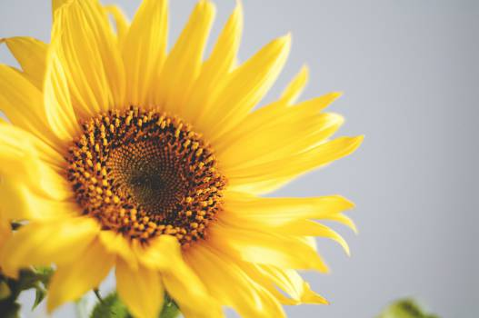 Sunflower Flower Yellow #15570